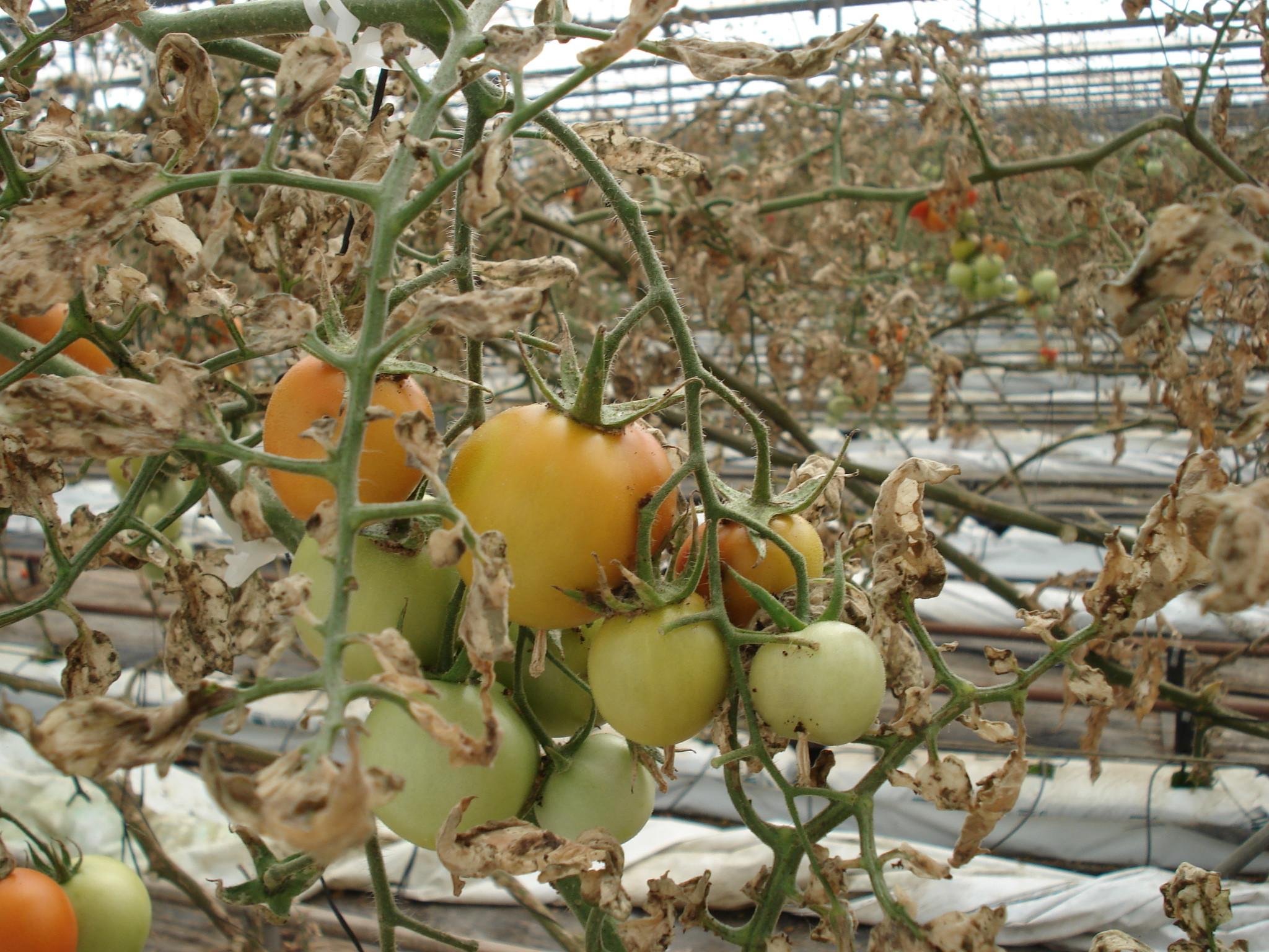 La aparición de resistencias a insecticidas complica el control de 'Tuta absoluta' - Agrodiario