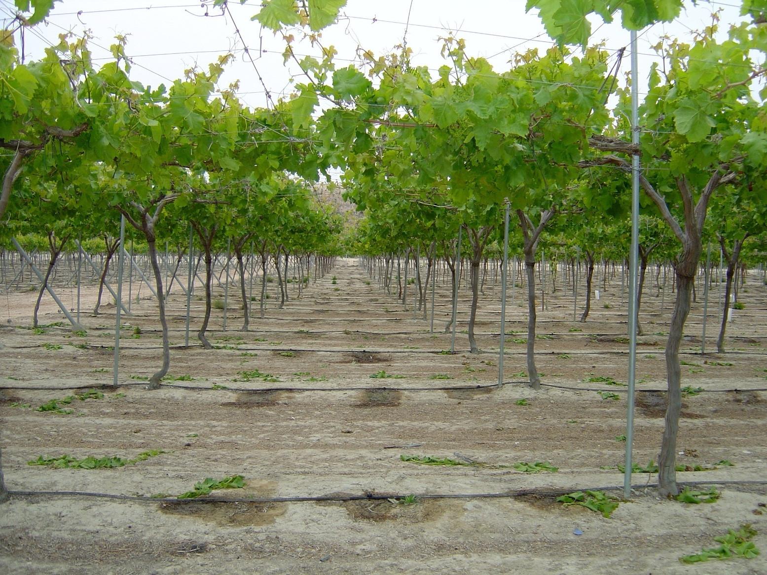 El programa de mejora de nuevas variedades de uva sin semillas cuenta con 14 variedades registradas - Variedades de uva de mesa ...