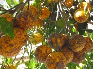 Mancha negra Naranjas (Foto AVA Asaja)